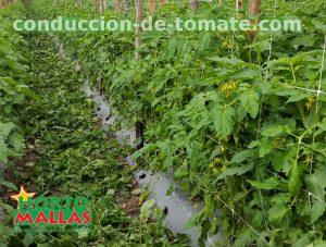 malla-para-el-tutoramiento-y-la-conduccion-de-los-cultivos-de-tomates-hortomallas
