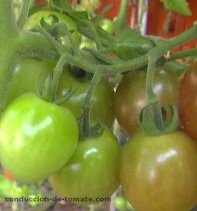 la eliminacion de brotes en la conduccion de tomate