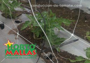 CONDUCCIÓN DE TOMATES